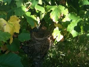 vin rose mazet antonin nid oiseau